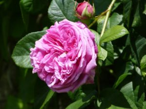 Pink roses - a national favourite for summer gardens