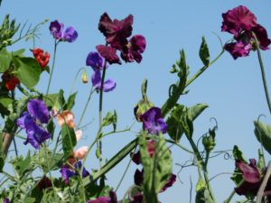 Sweet peas need special care and watering during sunny periods